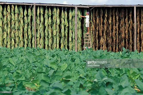tobacco-plantation-brazil