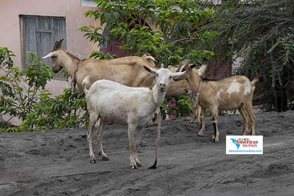 cabras-intenta-encontrar-pasto-en-chateau-belair-svg