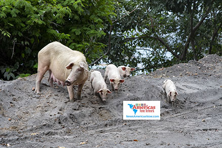 pigs-forage-for-food-in-ash-svg