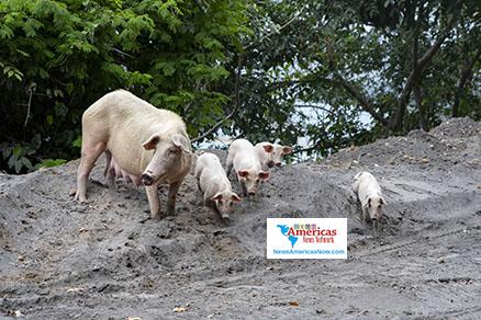forraje-de-cerdos-para-comida-en-ceniza-svg